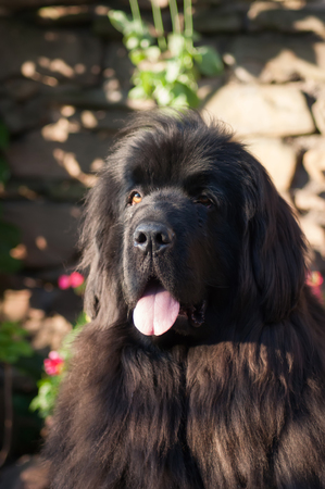 newfoundland dog: The head and shoulders of a Newfoundland dog in front of a stone wall Stock Photo