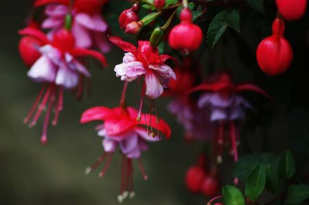 fuschia: A cluster of red and pink Fuschia flowers with the focus on the bloom that needs deadheading Stock Photo