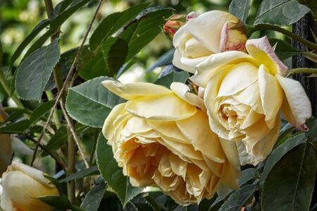 Yellow rose flowers in various stages of opening Stock Photo