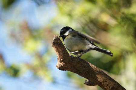 Juvenile Great Tit (Parus major) perched on a branch