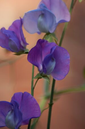 Four purple sweet pea (Lathyrus odoratus) flowers and stalks