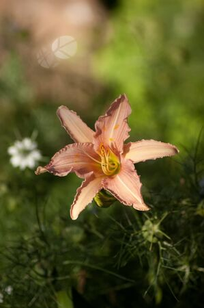 An orange Lily with Nigella seedpods in the background