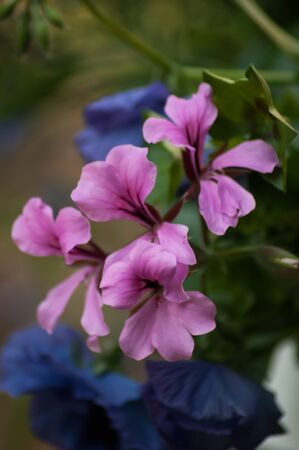 An open pink geranium flower with blue flowers and green leaves in the background Stock Photo