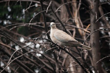 A collared dove (Streptopelia decaocto) resting on a branch in a tree