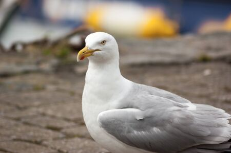 A Herring Gull (Larus argentatus) head and body on stone path Stock Photo