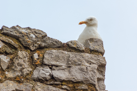 A Herring Gull (Larus argentatus) sitting on top of a stone wall, head and body only