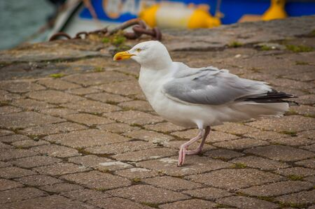 A Herring Gull (Larus argentatus) walking on a stone path Stock Photo