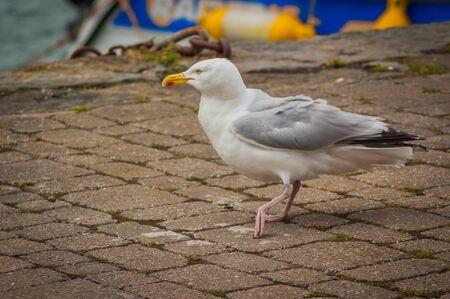 A Herring Gull (Larus argentatus) walking on a stone path Stock Photo