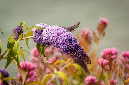 A Lilac (Syringa) flowerhead with other out of focus flowers in the background Stock Photo