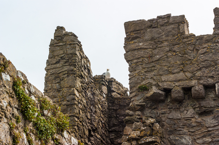 Ruined castle walls with a Herring Gull (Larus argentatus) sitting on top