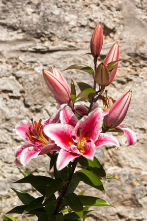 Pink and white Lily in front of a stone wall, potrait orientation