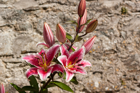 Pink and white Lily in front of a stone wall, landscape orientation