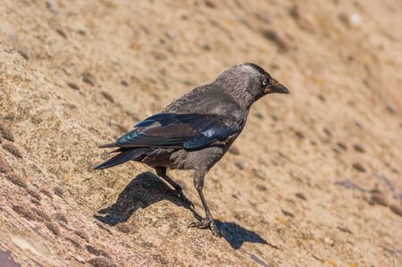 Western or European Jackdaw (Coloeus monedula) standing on a roof facing away from camera Stock Photo