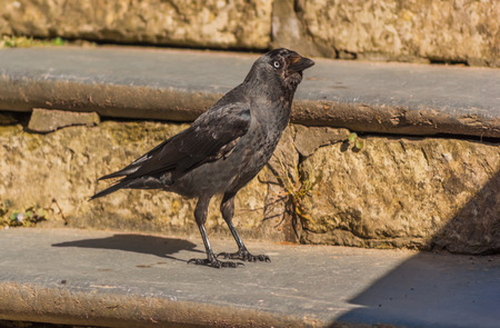 Western or European Jackdaw (Coloeus monedula) standing on stone steps