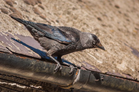 Western or European Jackdaw (Coloeus monedula) standing on a roof gutter looking downwards