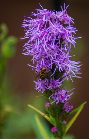 A Hoverfly (Syrphidae) on a purple flower with thin petals Stock Photo