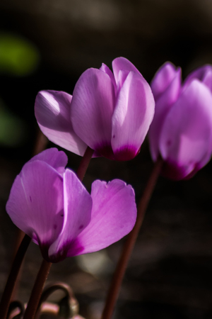 Purple cyclamen flowers and stalks not showing any leaves Stock Photo