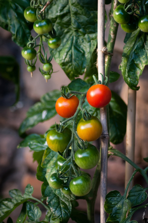 A cluster of red and green tomatoes ripening on the vine with smaller green tomatoes in background Stock Photo