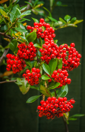 A group of red Pyracantha Firethorn berries on the bush