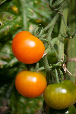 Three tomatoes still on the plant turning from green to red