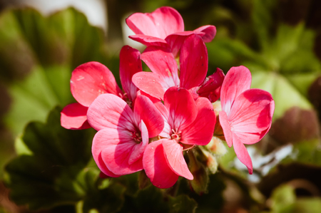 A bunch of pink Geranium flowers