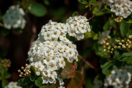 A cluster of white Spiraea flowers with others in background