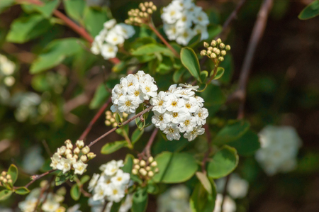 Focus on a small group of white Spiraea flowers Stock Photo