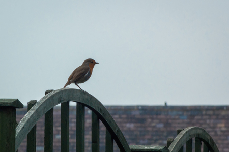 A European Robin (Erithacus rubecula) sitting on an arched garden fence during an overcast day with roof behind Stock Photo