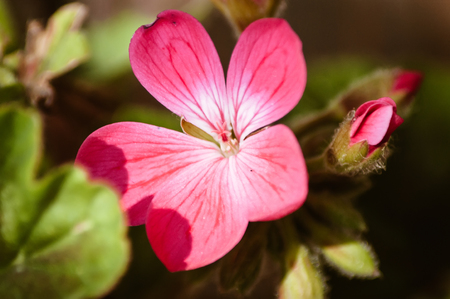 A single pink Geranium flower in sunlight with a leaf shadow and a damaged petal
