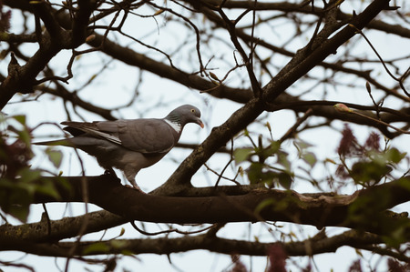 A Wood Pigeon (Columba palumbus) walking along a tree branch