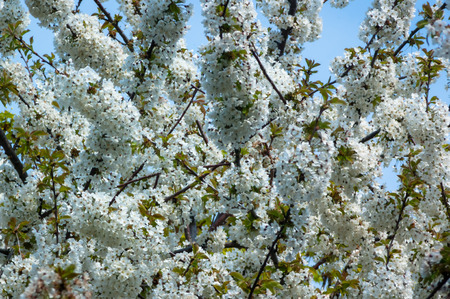 A tree full of white blossom in front of the blue sky Stock Photo