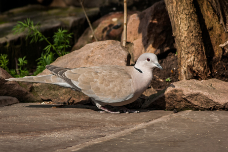 Eurasion Collared Dove (Streptopelia decaocto) on stone patio almost camoflaged against rocks and tree