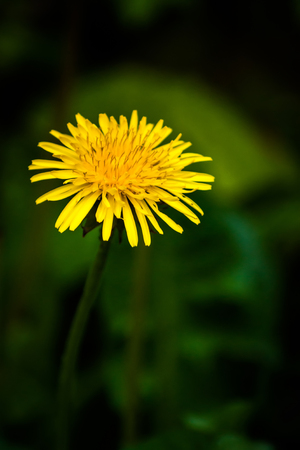 Dandelion (Taraxacum) flower with dark green background
