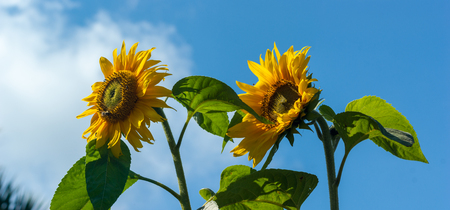 Panorama of two Sunflowers (Helianthus) with insects against a blue sky Stock Photo