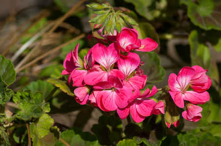 A bunch of pink Geranium flowers surrounded by green foliage Stock Photo