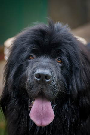 Newfoundland dog close up with tongue sticking out after having a drink