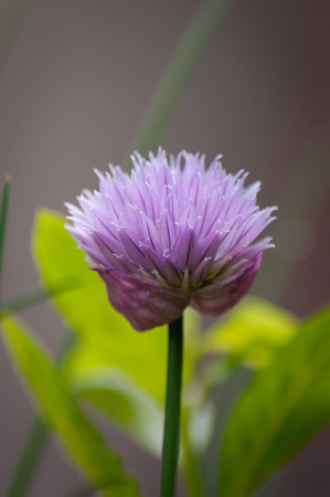 Close up of a purple Chive flower (Allium schoenoprasum) with green leaves in background