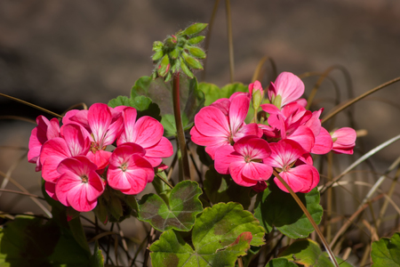 Two groups of pink Geranium flowers with brown background Stock Photo