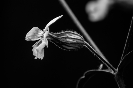 Campion flower in black and white, minimalist style Stock Photo