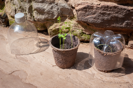 Two biodegradable pots of seedlings and homemade cloches made of recycled plastic bottles
