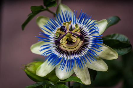 A blue and white Passion Flower (Passiflora) from the front Stock Photo