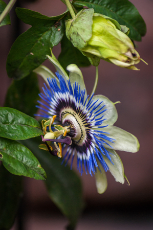 An open Passion Flower (Passiflora) from the side with an unopened bud above