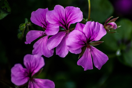 A small group of purple trailing Geranium flowers