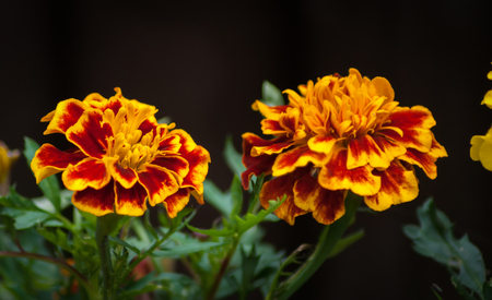 Two red and yellow variegated flowers