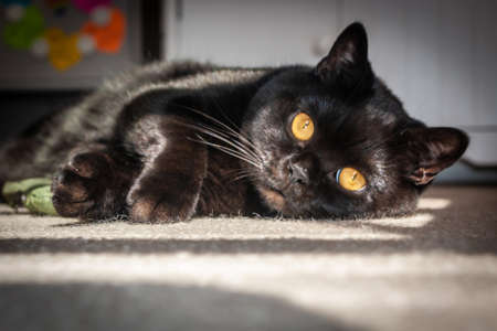 A British Shorthair cat lying in the sun staring at the camera