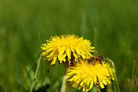 The honeybee extracts honey