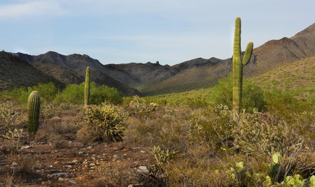 Desert bushes, cacti, and a mountain range with Tom s Thumb on the horizon against a blue sky