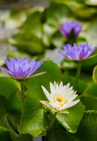 waterlilly: White and Purple Water-Lily in the pond