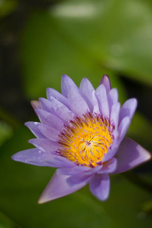 waterlilly: Purple Water-Lily in the pond Stock Photo