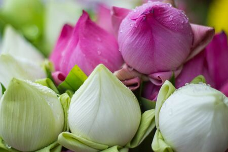 religion ritual: Folded Petal Water-Lily for paying respect to Buddha in Thailand Stock Photo